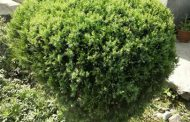 Ornamental and Evergreen Plants